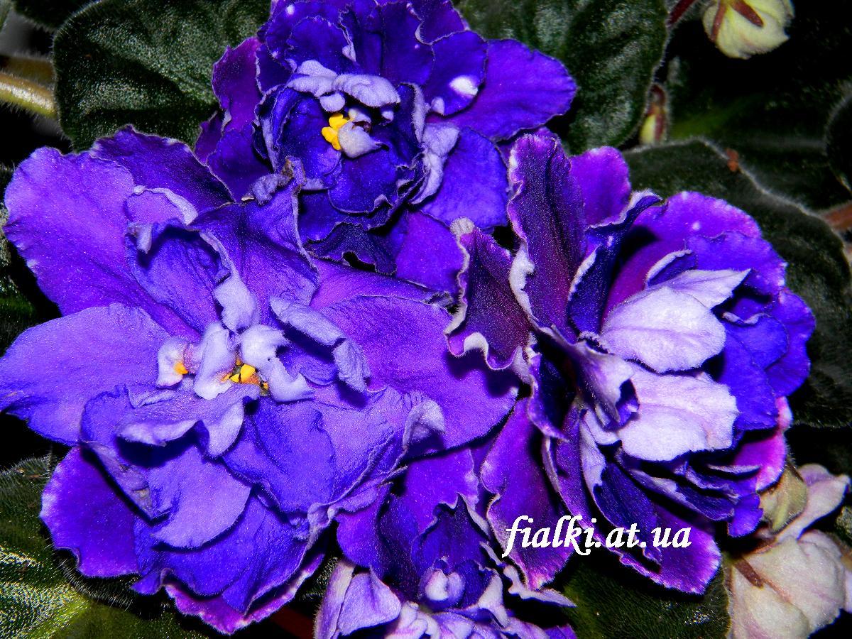 Нарцисс белый фото цветов