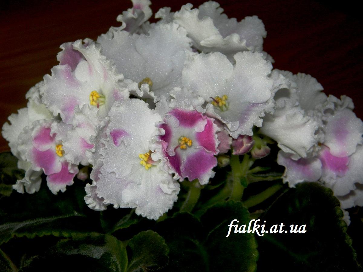 Каменный цветок: фиалка необыкновенной красоты